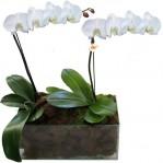orquidea 2 hastes brancas