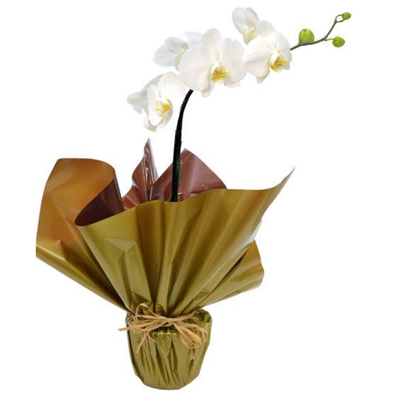 orquidea phaleanopsis branca presente
